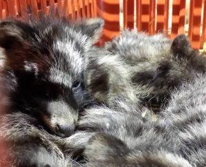 Wasbeerhonden die op de valreep verhandeld werden