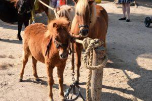 Paarden en pony keuring Gendt
