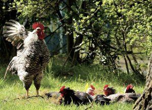 Biologisch vleeskuikenbedrijf met 52.000 kippen mag er komen