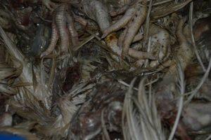 De vergeten kuikens in verre staat van ontbinding