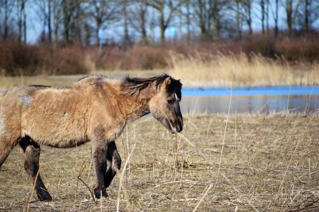 Top Bijvoeren voorkomt afschot van dieren Oostvaardersplassen - 1037 KD38
