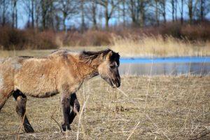 Bijvoeren voorkomt afschot van dieren Oostvaardersplassen
