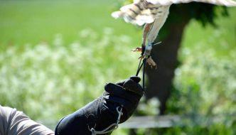 Roofvogels hun vrijheid ontnemen om het publiek te vermaken