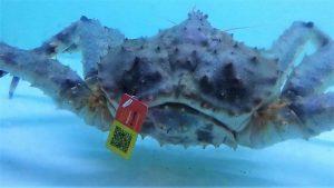 Schokkend! lijdensweg van krabben en kreeften kan tot zelfs maanden duren.