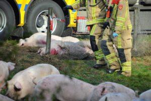 schokkende beelden van gekantelde varkenstransport A50