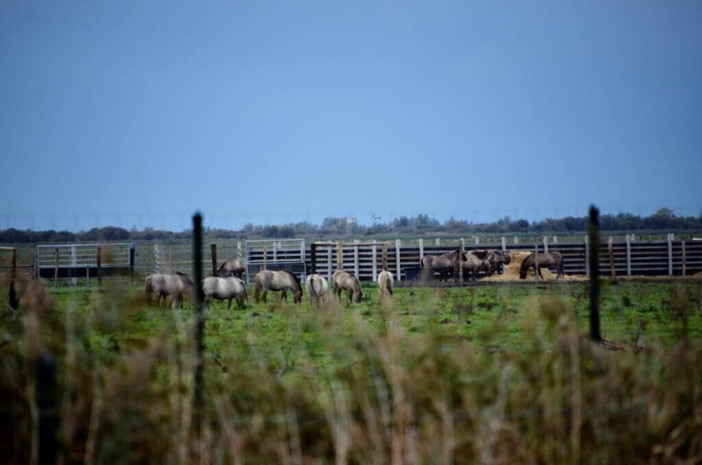 ©1037 Against Animal Cruelty/ Mogen de Konik's van de OVP wel naar de slacht?